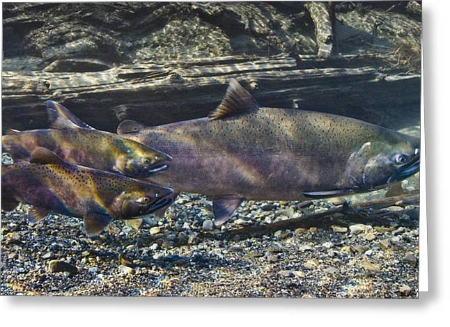 Coho Salmon Greeting Cards - Underwater View Of Coho Salmon Greeting Card by Thomas Kline