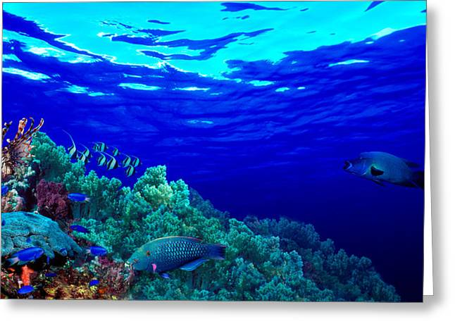 Zoology Greeting Cards - Underwater View Of Longfin Bannerfish Greeting Card by Panoramic Images