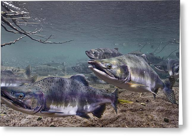 Chum Greeting Cards - Underwater View Of Pink And Chum Salmon Greeting Card by Thomas Kline