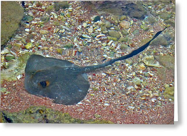 Mccoy Greeting Cards - Underwater World. Myliobatoidei. Greeting Card by Andy Za