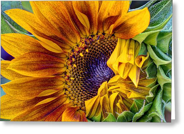 Sunflower Seeds Greeting Cards - Unfurling Beauty - Cropped Version Greeting Card by Heidi Smith