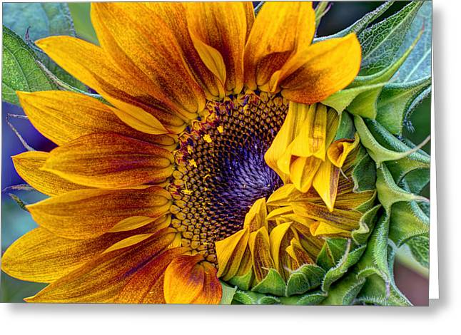 Harvest Art Greeting Cards - Unfurling Beauty Greeting Card by Heidi Smith