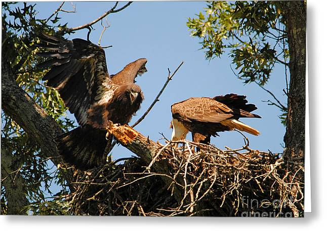 Eagle Greeting Cards - Unhappy Eaglet Greeting Card by Jai Johnson