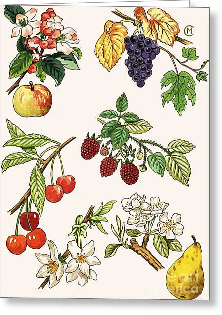 Fruits Drawings Greeting Cards - Unidentified Montage Of Fruit Greeting Card by English School