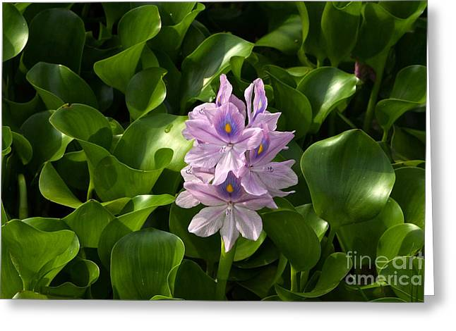 Braiding Greeting Cards - Unmanageable Beauty The Water Hyacinth Greeting Card by Byron Varvarigos