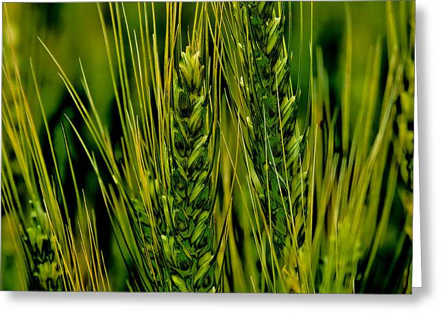 Surreal Landscape Greeting Cards - Unripened Wheat in the Palouse Greeting Card by David Patterson