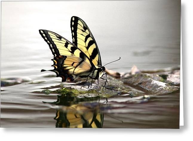 Print Photographs Greeting Cards - Unusual Setting for a Butterfly - Water and Swallowtail Greeting Card by Travis Truelove