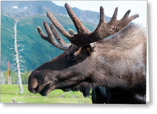 Up Close And Personal With A Moose Greeting Card by Rick Daley