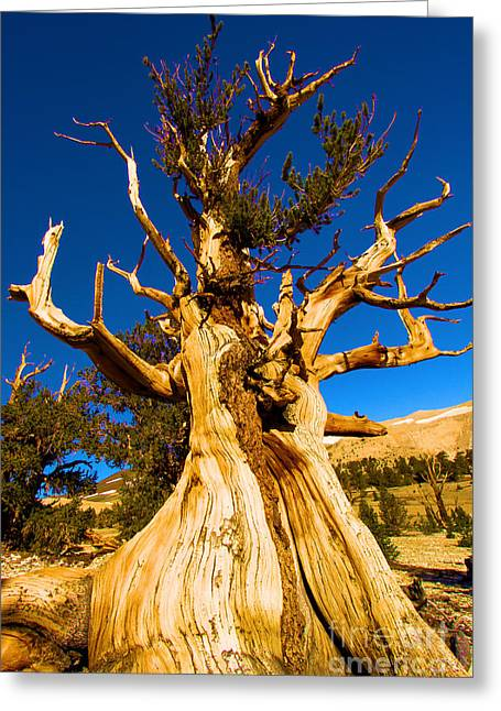 Oldest Living Tree Greeting Cards - Up The Bristelcone Greeting Card by Adam Jewell
