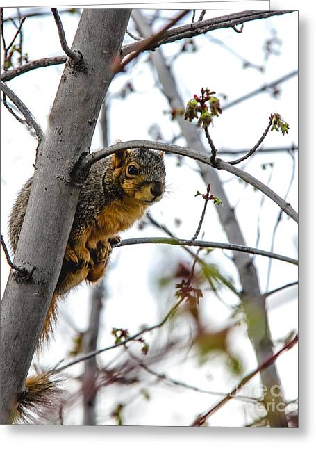 Fox Squirrel Greeting Cards - Up the Tree Greeting Card by Robert Bales