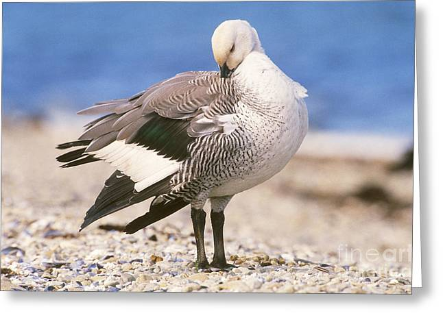 Water Fowl Greeting Cards - Upland Goose Chloephaga Picta Greeting Card by Art Wolfe