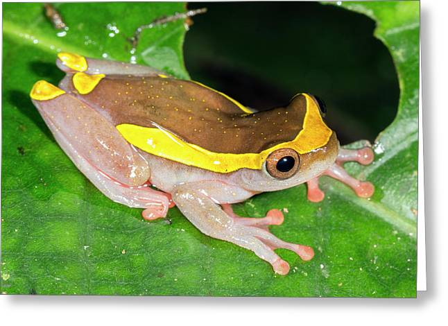 Upper Amazon Treefrog Greeting Card by Dr Morley Read
