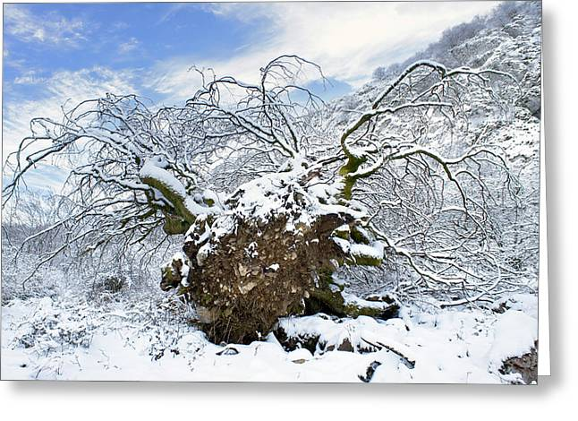 Tree Roots Greeting Cards - Uproot Tree In Snow Due Hurricane Greeting Card by Mikel Martinez de Osaba