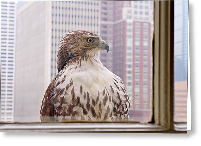 Phila Photographs Greeting Cards - Urban Red-tailed Hawk Greeting Card by Rona Black