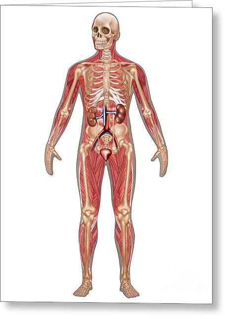 Excretory System Greeting Cards - Urinary, Skeletal & Muscular Systems Greeting Card by Gwen Shockey