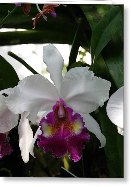 Orchid Greeting Cards - US Botanic Garden - 121243 Greeting Card by DC Photographer