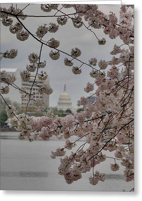 Grass Greeting Cards - US Capitol - Cherry Blossoms - Washington DC - 01136 Greeting Card by DC Photographer