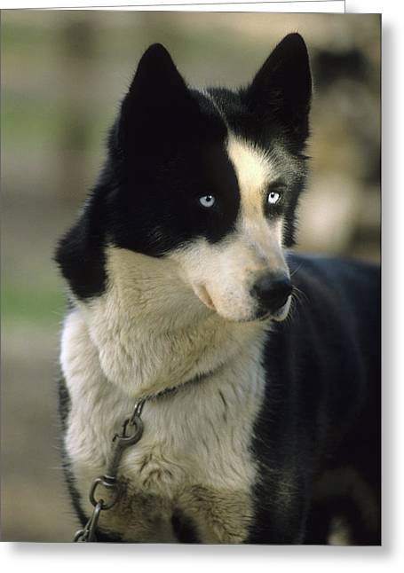 Usa, Alaska, Sled Dog, Dog Sledding Greeting Card by Gerry Reynolds