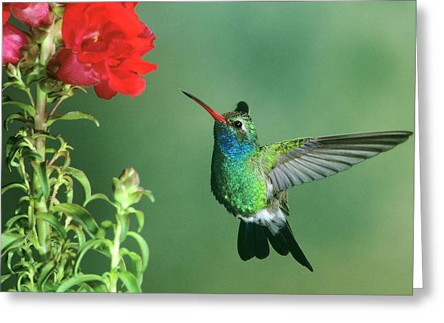 Usa, Arizona Broad-billed Hummingbird Greeting Card by Jaynes Gallery