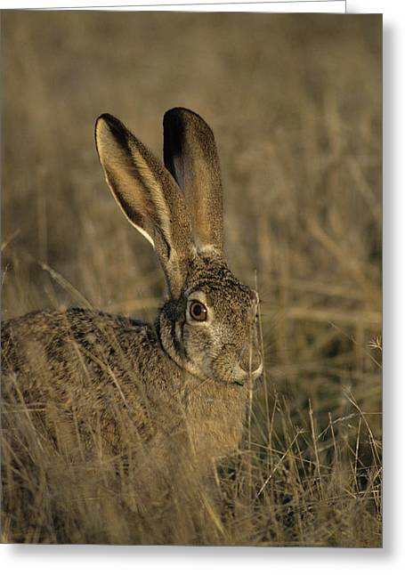 Usa, Black-tailed Jackrabbit Greeting Card by Gerry Reynolds