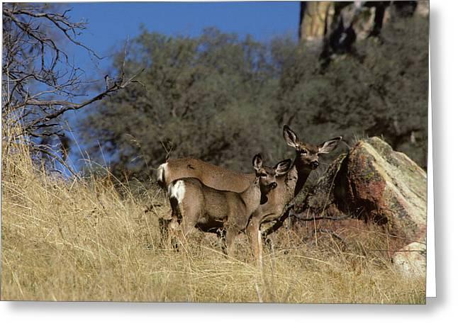 Usa, California, Mule Deer, Doe Greeting Card by Gerry Reynolds
