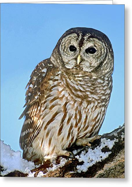 Usa, Colorado Portrait Of Barred Owl Greeting Card by Jaynes Gallery