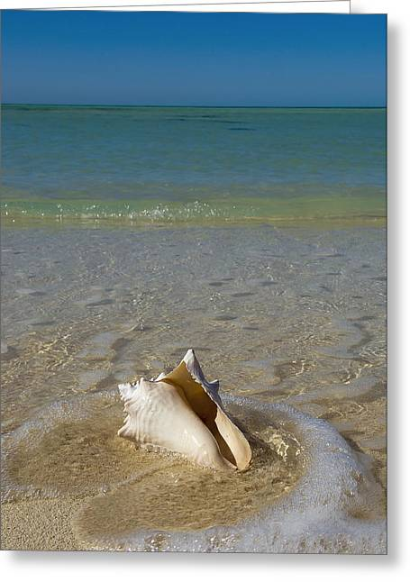 Close Focus Nature Scene Greeting Cards - Usa, Florida, Florida Keys, Conch Shell Greeting Card by Chris Parker
