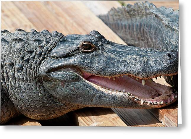Usa, Florida Gatorland, Florida Greeting Card by Michael Defreitas