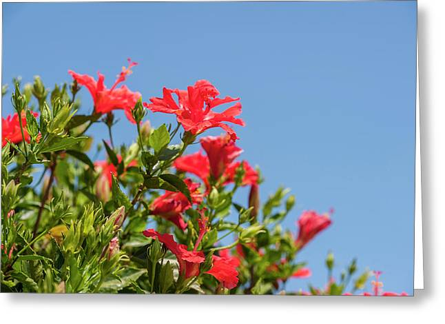 Usa, Florida, New Smyrna Beach, Hibiscus Greeting Card by Lisa S. Engelbrecht