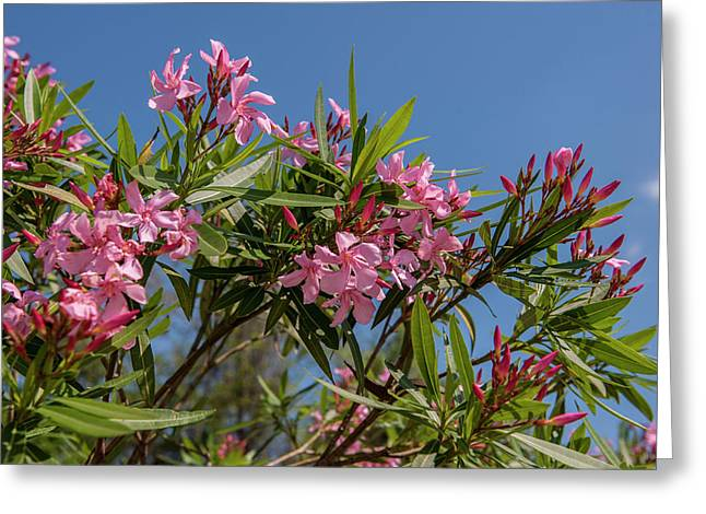 Usa, Florida, New Smyrna Beach, Oleander Greeting Card by Lisa S. Engelbrecht