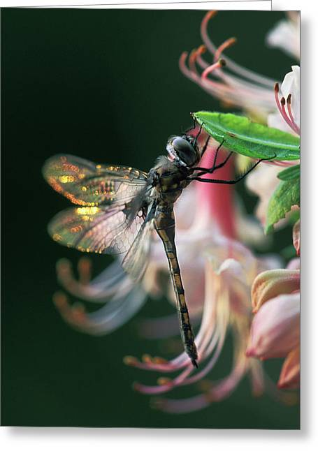 Usa, Georgia, Close-up Of Dragonfly Greeting Card by Jaynes Gallery