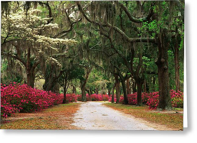Usa, Georgia, Savannah, Road Lined Greeting Card by Adam Jones