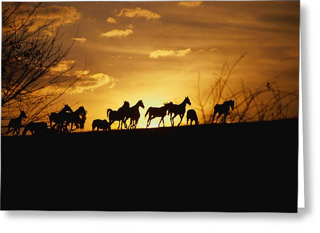 Race Horse Photographs Greeting Cards - Usa, Kentucky, Horses Running, Sunset Greeting Card by Panoramic Images