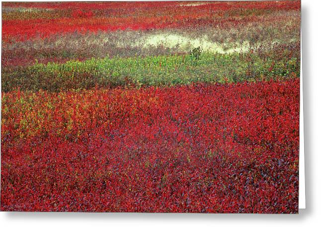 Usa, Maine Blueberry Fields In Autumn Greeting Card by Jaynes Gallery