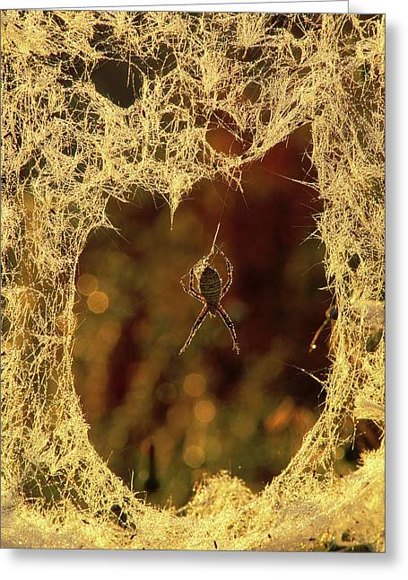 Usa, Michigan, Black-and-yellow Argiope Greeting Card by Jaynes Gallery