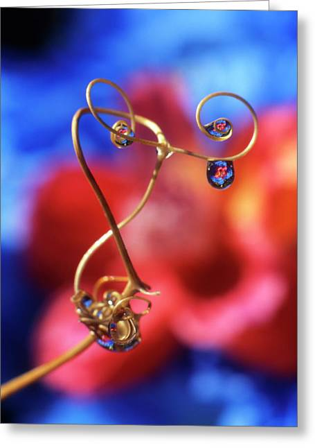 Usa, Oregon, Dewdrops On Sweet Pea Greeting Card by Jaynes Gallery