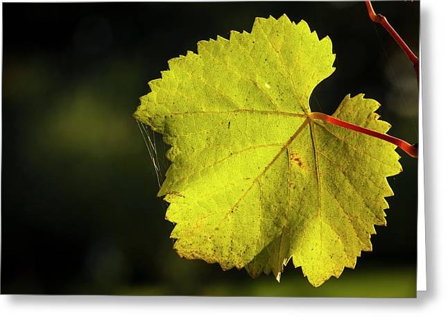 Usa, Oregon, Keizer, Pinot Gris Leaf Greeting Card by Rick A Brown