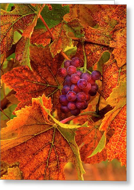 Usa, Oregon, Willamette Valley, Pinot Greeting Card by Jaynes Gallery