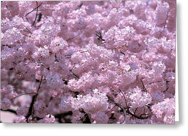 Pink Flower Branch Greeting Cards - Usa, Washington Dc, Close-up Of Cherry Greeting Card by Panoramic Images