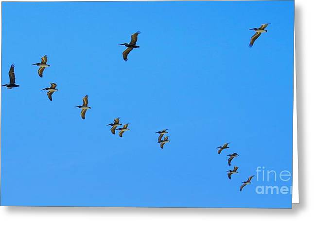 Flock Of Flying White Pelicans Greeting Cards - V-Formation Greeting Card by Scott Cameron