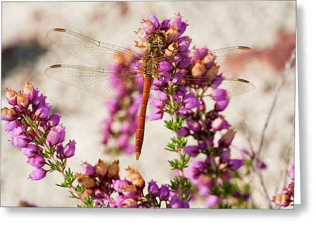 Vagrant Darter Dragonfly Greeting Card by Bob Gibbons