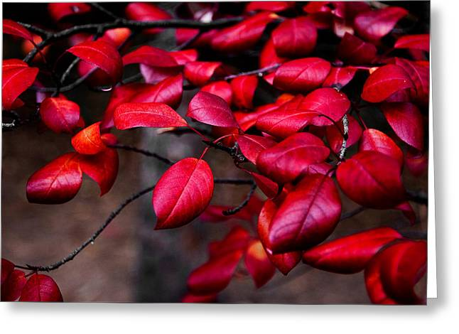 Fallen Leaf Greeting Cards - Crimson Red Fall Leaves Greeting Card by The Forests Edge Photography - Diane Sandoval
