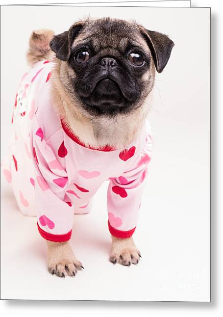 Dogs. Pugs Greeting Cards - Valentines Day - Adorable Pug Puppy in Pajamas Greeting Card by Edward Fielding