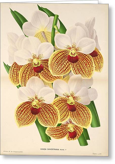 Office Plants Drawings Greeting Cards - Vandas Anderiana Greeting Card by Philip Ralley