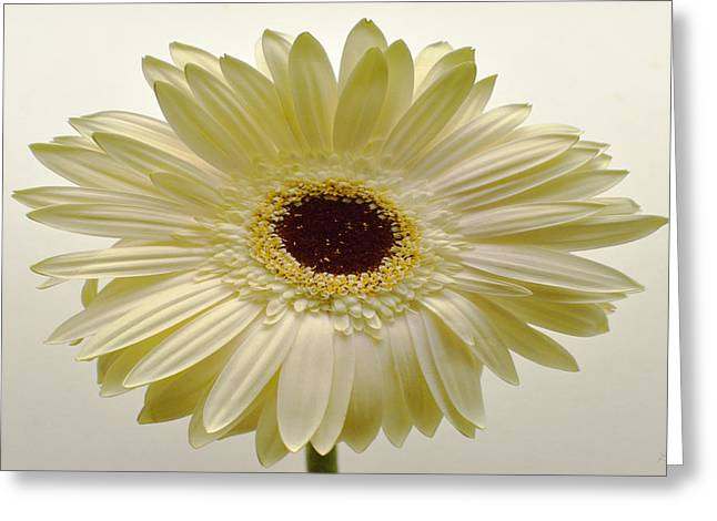 Sunburst Floral Still Life Greeting Cards - Vanilla Bean Zinnia Greeting Card by Sherry Allen