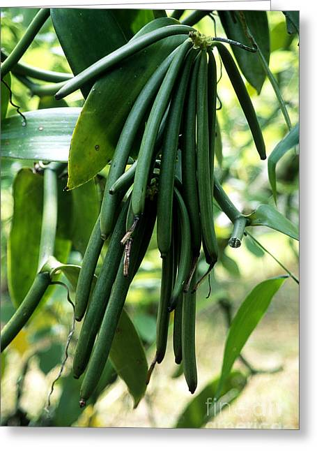 The Bean Greeting Cards - Vanilla Beans Greeting Card by Tierbild Okapia