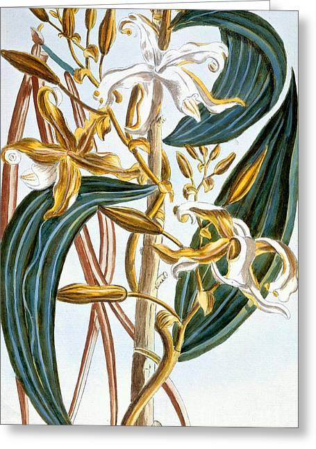 Tasteful Greeting Cards - Vanilla pods Greeting Card by Pierre-Joseph Buchoz
