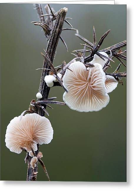 Variable Oysterling Fungus Greeting Card by Nigel Downer