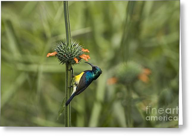 Sunbird Greeting Cards - Variable Sunbird  Greeting Card by Eyal Bartov