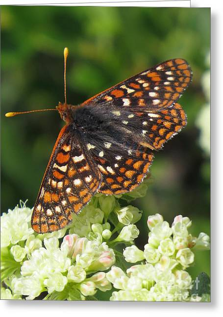 Checkerspot Greeting Cards - Varied Checkerspot Greeting Card by Frank Townsley